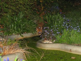 fox cub by pond