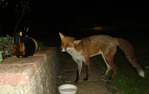 fox with torch