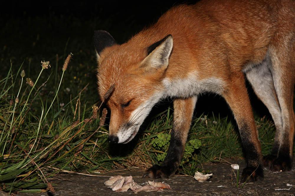 Dog Fox Uk