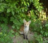 fox cub in woodland shade 3